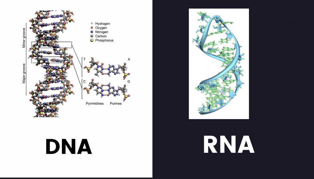 DNA VS RNA :The Differences  and Similarities